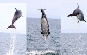 Incredible pictures show dolphin leaping 15 feet out of sea - a real jumper in Cardigan Bay